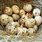 перепелиные потрясные яйца купить в мск