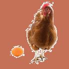 от чего зависит цвет яиц