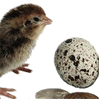 перепелиные яйца купить в москве оптом